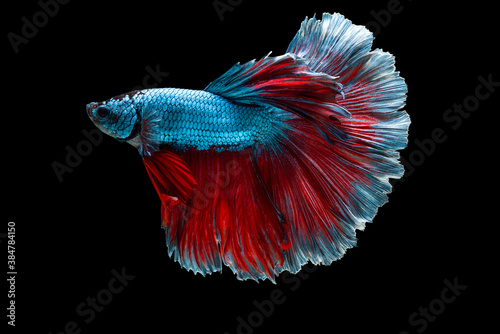 Foto Colourful Betta fish,Siamese fighting fish in movement isolated on black background