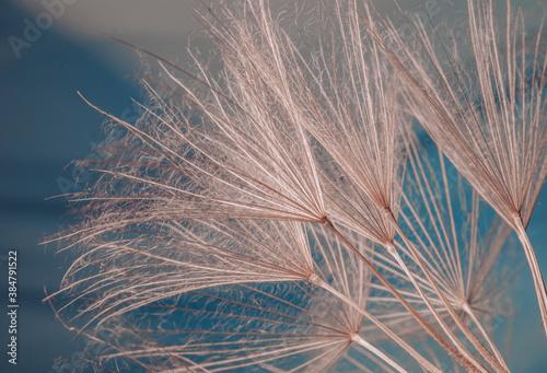 Obraz Mniszek lekarski - dmuchawce, niebieskie tło - fototapety do salonu