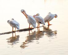 American White Pelicans In Texas