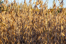 Soybean Field In Early Fall Ready For Harvest, Close Up, Selective Focus, Background Blur, Foreground Blur
