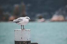 Portrait Of Seagull On Lake Ga...