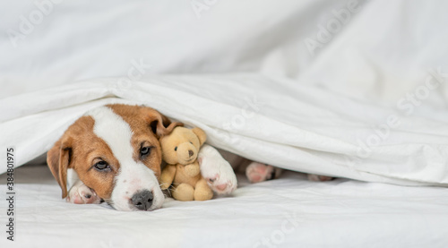Fotomural Sick jack russell terrier puppy hugs favorite toy bear and lies under white warm blanket on a bed at home