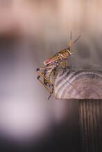 Eastern Lubber Grasshopper Per...