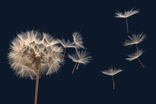 Dandelion Seeds Fly From A Flo...