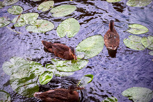 Ducks In Pond With Water Lily ...