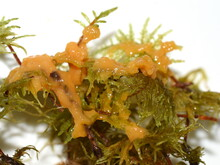 The Yellow Slime Fungus Dog Vo...