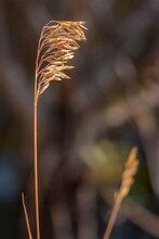 A Single Bottlebrush Prairie Grass Catches The Evening Sun And Stands Tall In A Gentle Breeze During Autumn In The Mountains Of Utah.