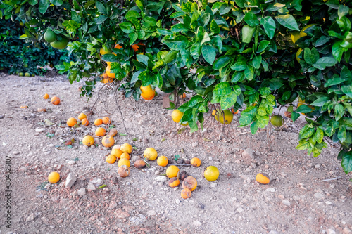 Cuadros en Lienzo Ripe unharvested oranges fall to the ground and rot, wasting food