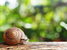 Snail Slow Walk On Wood And Gr...