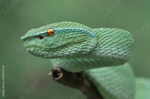 Fotomural Green Pit Viper