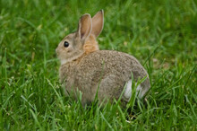 A Young Rabbit Sits In A Grassy Yard.