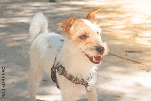 A nice mongrel dog walking on a sunny day. Wallpaper Mural