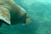 Huge Walrus Swimming N The Water