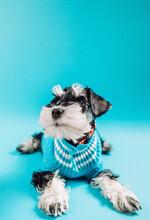 Schnauzer Puppy On Blue .