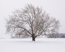 An Old Barren Live Oak Tree Isolated In A Farmer's Snow Covered Field Stands Majestically As More Snow Is Falling.