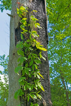 Virginia Creeper Growing Up A ...