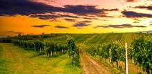 Grape Field Growing For Wine. ...