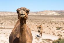 Curious Moroccan Camel