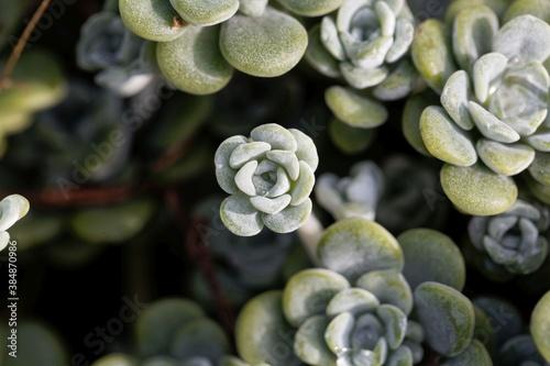 Leaves of a broadleaf stonecrop, Sedum spathulifolium Billede på lærred