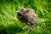 A Fledgling Blackbird Chick In Grass In The Sun With Open Eyes
