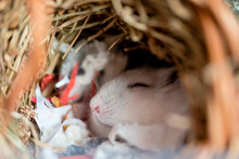 A White Dwarf Hamster Asleep In A Nest Of Paper And Straw Bedding