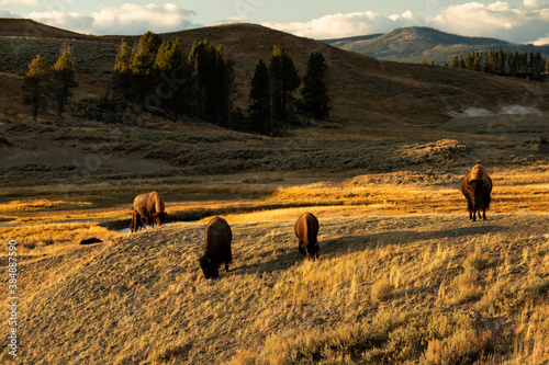 Photo Bison (Bison bison) crossing top of hill, grazing in Hayden Valley;  Yellowstone