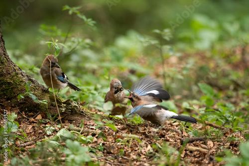 Fotografie, Obraz Wild jay in the forest