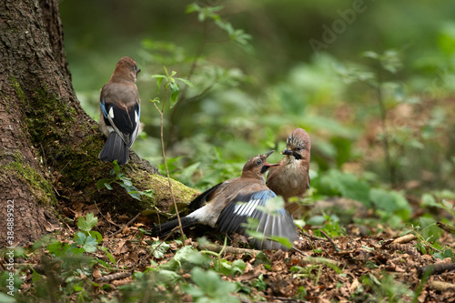 Foto Wild jay in the forest