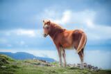 Wild Welsh Mountain Ponies
