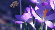 Bee Among Crocuses, Purple Flo...