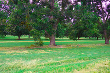Lush Pecan Trees In A Pecan Orchard In The South