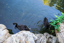 Black Swan Swimming In The Water