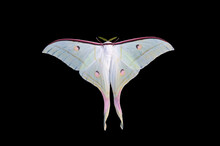 Beautiful Actias Selene Moth I...