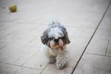 Cute Tiny Shi Tzu Pure Breed D...