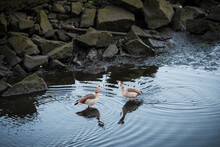 Nile Goose Or Egyptian Goose, ...