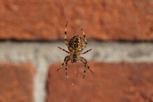 European Garden Spider, Diadem Spider, Orangie, Cross Spider, Crowned Orb Weaver (Araneus Diadematus) In Its Web. Family Orb-weaver Spiders, Araneids (Araneidae). In Front Of A Faded Wall. Autumn.