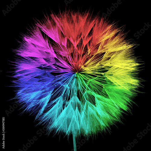 Fototapety, obrazy: colored dandelion isolated on black background