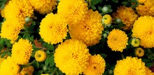 Close-up: A Bouquet Of Yellow ...
