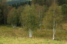 Birch Trees Near The Village Kvilda,Prachatice District,South Bohemian Region,Czech Republic,Europe