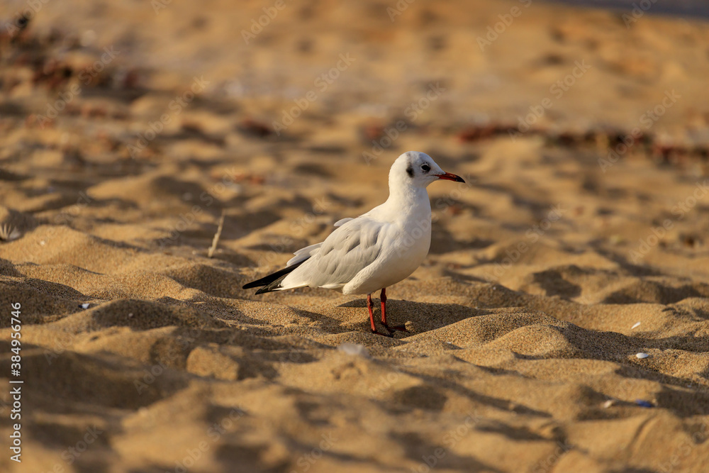 Fototapeta Seagull on Koral beach, Tsarevo, Bulgaria