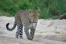 Adult Male Leopard Walking In ...
