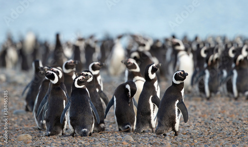 Leinwand Poster King Penguin (Aptenodytes patagonicus) on a beach in Royal Bay, A penguin colony