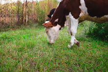 A Young Cow Grazes On A Green ...