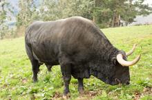 Tudanca Breed Bull Grazing.
