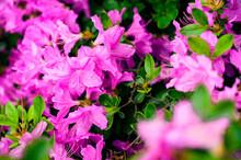 Purple Flowers With Azalea Wat...