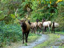 Adult Bull Roosevelt Elk (Cervus Canadensis Roosevelti), In Rut Near Highway 101, California