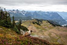 Adult Hoary Marmot (Marmota Caligata), On The Skyline Trail, Mount Rainier National Park, Washington State