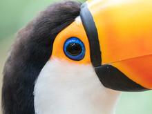 Captive Toco Toucan (Ramphastos Toco), Parque Das Aves, Foz Do Iguacu, Parana State, Brazil