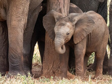 A Herd Of African Bush Elephants (Loxodonta Africana), Protecting A Newborn Calf In Tarangire National Park, Tanzania