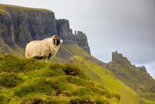 Ram Sheep (Ovis Aries), The Quiraing, Isle Of Skye, Inner Hebrides, Highlands And Islands, Scotland, United Kingdom